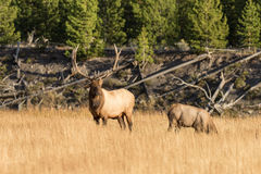 Bull and Cow Elk in the Fall Rut Stock Image