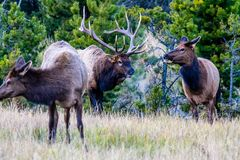 Bull and cow elk, Jasper National Park, Alberta, Canada. Bukk and cow elk look at each other during the rutting season royalty free stock images