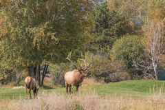 Bull and Cow Elk in Meadow Stock Images