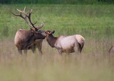 Bull and Cow Elk Nuzzle Stock Photos