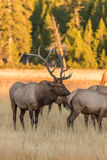 Bull and Cow Elk in Rut Royalty Free Stock Photography