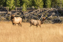 Bull and Cow Elk in the Rut Royalty Free Stock Images