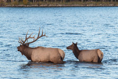 Bull and Cow Elk Swimming Stock Image