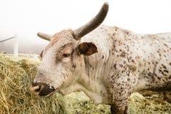 Bull Cow Gets Morning Feeding Washington Country Ranch Royalty Free Stock Photo