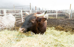 Bull Cow Gets Morning Feeding Washington Country Ranch Stock Images