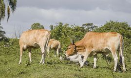 Bull and cow grazing royalty free stock photos