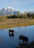 Bull cow moose courting in water under mountain Stock Images
