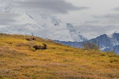 Bull and Cow Moose in Denali National Park. A bull and cow Alaska Yukon moose in Denali National Park Stock Photos