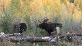 Bull and Cow Moose in Fall Rut stock video