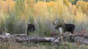 Bull and Cow Moose in the Fall Rut stock footage