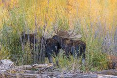 Bull and Cow Moose in the Fall Rut Royalty Free Stock Photo