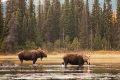 Bull and Cow Moose Royalty Free Stock Image