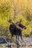 Bull and Cow Moose in Rut. A bull and cow shiras moose in the fall rut in Wyoming Royalty Free Stock Photos