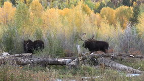 Bull and Cow Moose in Rut stock footage