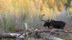 Bull and Cow Moose in Rut stock video