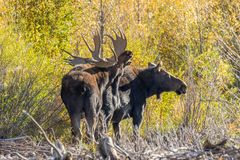 Bull and Cow Moose Rutting in Fall royalty free stock photo