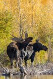 Bull and Cow Moose Rutting. A bull and cow shiras moose in the fall rut in Wyoming Stock Photography