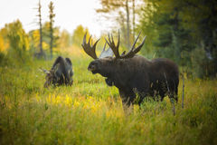 Bull and Cow Moose. A bull moose sniffs the air for pheromones during the autumn rut in Grand Teton National Park, Wyoming stock image