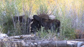 Bull and Cow Shiras Moose in Fall Rut stock footage