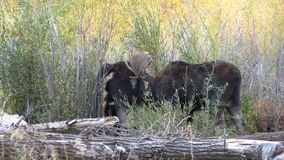 Bull and Cow Shiras Moose stock video footage