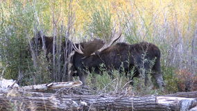 Bull and Cow Shiras Moose in the Fall Rut stock video
