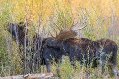 Bull and Cow Moose Stock Photography