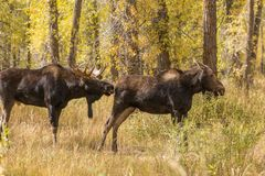 Bull and Cow Moose Rutting Royalty Free Stock Images