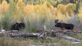 Bull and Cow Shiras Moose in Rut stock video