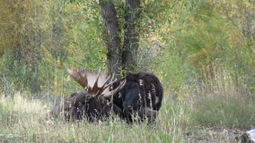 Bull and Cow Shiras Moose in Rut stock footage