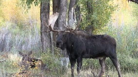 Bull and Cow Shiras Moose in the Rut stock video