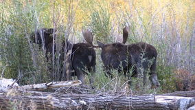 Bull and Cow Shiras Moose in Rut stock video footage
