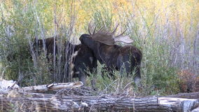 Bull and Cow Shiras Moose During the Rut stock video