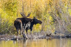 Bull and Cow Shiras Moose in Rut. A bull and cow shiras moose in the fall rut in Wyoming Royalty Free Stock Photography