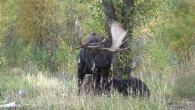 Bull and Cow Shiras Moose Rutting stock video