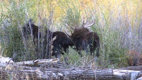 Bull and Cow Shiras Moose Rutting in Fall stock video
