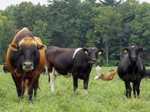 Bull and cows royalty free stock images