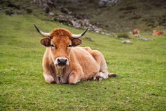 Bull and cows laying on rich pasture land, Picos de Europa, Asturias, Northern Spain Royalty Free Stock Image