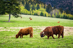 Bull and cows in pasture Royalty Free Stock Photography