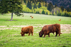 Bull and cows in pasture Royalty Free Stock Photo