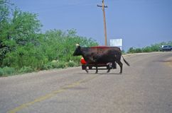 Bull crossing road in front of car, Oracle, AZ Royalty Free Stock Photography