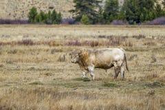 Bull dans le domaine Image stock