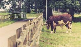 Bull dans le domaine Photographie stock
