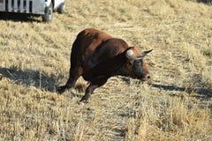 Bull de combate espanhola fotos de stock