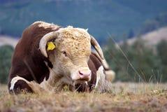 Bull. de Hereford. Photographie stock libre de droits