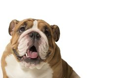 Bull Dog Royalty Free Stock Image