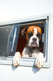 Bull dog at the camping Royalty Free Stock Photos