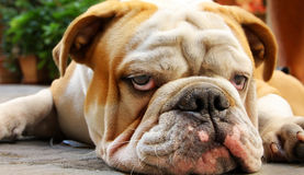Bull Dog puppy. The Boss - Bull Dog puppy - Italy Royalty Free Stock Photography