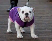 Bull Dog Puppy. This cute puppy was on a walk with her owners sporting this cool purple jacket Royalty Free Stock Photography