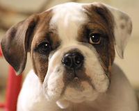 Bull dog puppy face royalty free stock photo