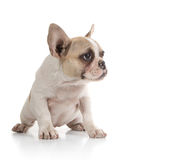 Bull Dog Puppy Looking to the Side Royalty Free Stock Images